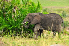 African Elephant. S in Serengeti, Tanzania Stock Photography