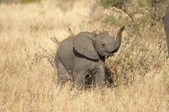 African Elephant. S in Serengeti, Tanzania stock photo