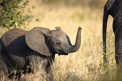 African Elephant. S in Serengeti, Tanzania Royalty Free Stock Photos