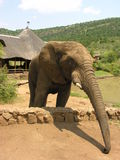 African Elephant extending trunk Royalty Free Stock Photo