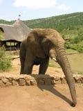 African Elephant Extending Trunk