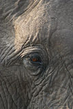 African Elephant eye. African Elephant (Loxodonta Africana) is enormous and unmistakable as the largest land animal on earth.  Adults have a life expectancy of Royalty Free Stock Photography