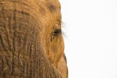 African Elephant eye Stock Images