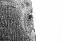 African Elephant eye Royalty Free Stock Images