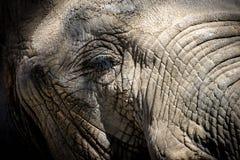 African elephant eye (Loxodonta africana) Royalty Free Stock Images