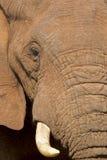 African elephant eye and tusk Stock Photography