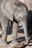 African Elephant Family. Baby elephant. Photo taken on: 2009 Royalty Free Stock Image