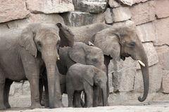 African Elephant Family. Mother showing affection to baby with trunk Royalty Free Stock Photo