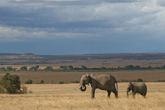 African Elephant Family. Scenic view of African elephant mother and cub in Masai Mara Stock Photography