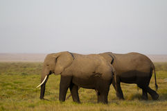 African Elephant Family royalty free stock image