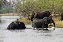 African Elephant family. The African Bush elephant is the largest of the two sub-species of African elephant Stock Photos