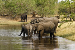 African Elephant family. The African Bush elephant is the largest of the two sub-species of African elephant stock image