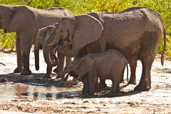 African Elephant family drinking #2. African Elephant (Loxodonta Africana) is enormous and unmistakable as the largest land animal on earth.  Adults have a life Stock Image