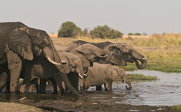 African Elephant family drinking. African Elephant (Loxodonta Africana) is enormous and unmistakable as the largest land animal on earth.  Adults have a life Royalty Free Stock Images
