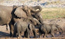 African Elephant family drinking Stock Photo