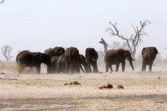 African elephant family at a dusty waterhole Stock Images