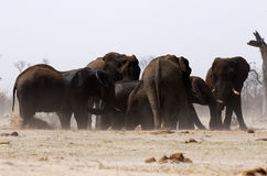 African elephant family at a dusty waterhole Royalty Free Stock Photo