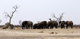 African elephant family at a dusty waterhole Stock Photography