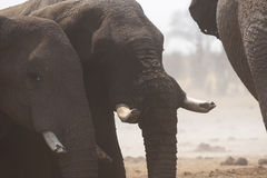 African elephant family at a dusty waterhole Royalty Free Stock Photography