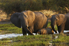African elephant family Royalty Free Stock Photos