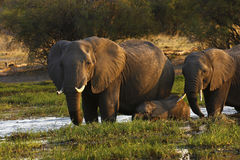 African elephant family Stock Photography