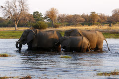 African elephant family Royalty Free Stock Images