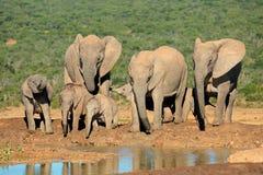 African elephant family royalty free stock photos