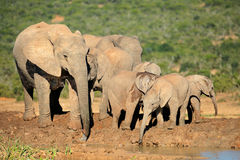 African elephant family Stock Photos
