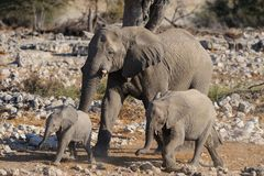 African elephant family, etosha nationalpark, namibia. African elephant family are walk, etosha nationalpark, namibia, loxodonta africana Stock Photography