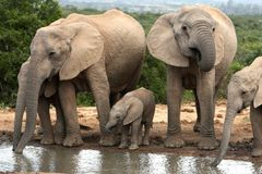 African Elephant Family Group. Family group of African elephants quenching their thirst stock photography