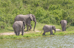 African Elephant Family Group along a River. African Elephant Family Group along a the Kazinga Channel of the Nile River in Uganda stock photography