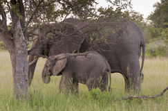 African Elephant Family In South Africa Royalty Free Stock Images