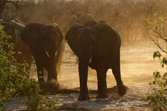 African elephant family interaction Royalty Free Stock Image