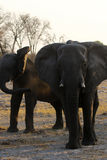 African elephant family interaction Stock Photography