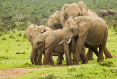 African elephant family on a pathway Stock Photo
