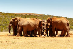 African Elephant family reunion at the dam Royalty Free Stock Photography
