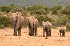 African elephant family in a row