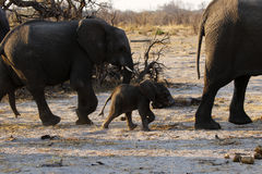 African elephant family running Royalty Free Stock Photos