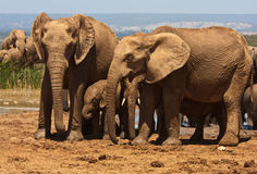 African Elephant family in South Africa Stock Photography