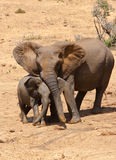 African Elephant family in South Africa. An African elephant mother and baby in the Addo National Park near Port Elizabeth, South Africa Royalty Free Stock Photo