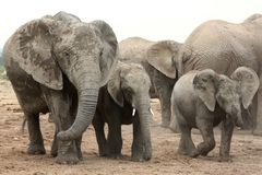 African Elephant Family Stock Images