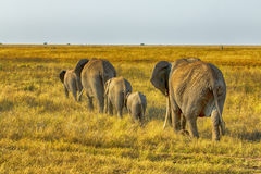 African elephant family walking Stock Photos