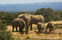 African Elephant family at waterhole Stock Photo