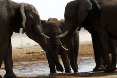 African elephant family at a waterhole Royalty Free Stock Photos