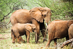 African elephant family Royalty Free Stock Photography