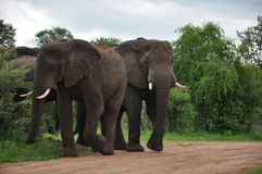 African Elephant family Zimbabwe Royalty Free Stock Photography