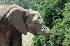 African elephant feeding. Side portrait of African elephant feeding off green leaves on bush or tree Royalty Free Stock Photos