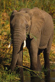 African Elephant Feeding Stock Photography