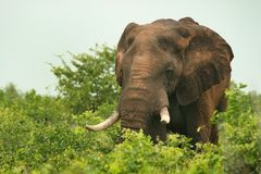 African Elephant Feeding Royalty Free Stock Image