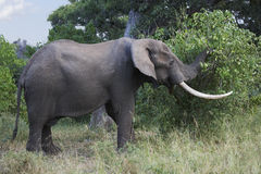 African elephant feeding Royalty Free Stock Images